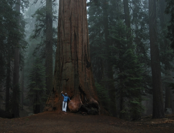 sequoia3