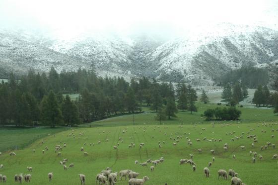 owce snieg