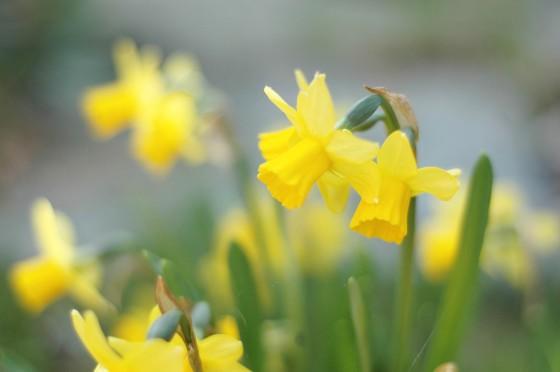 daffodils kroskus